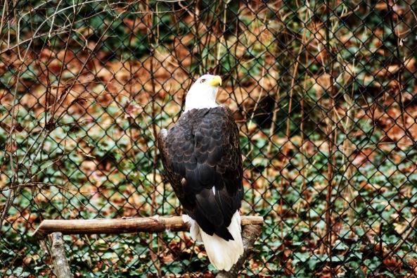bald eagle 1 121515